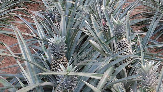pineapple farm in sri lanka