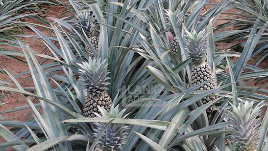 pineapple farm in sri lanka